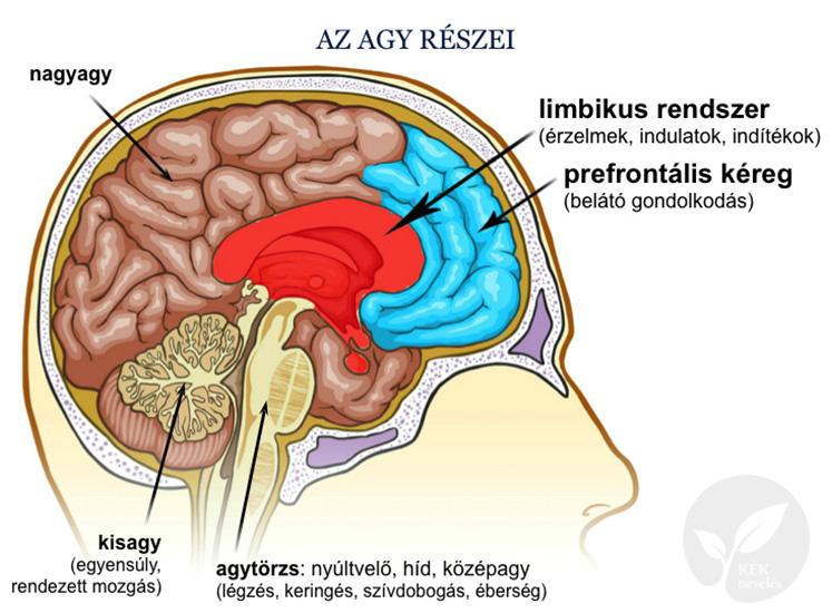 Az agy részei